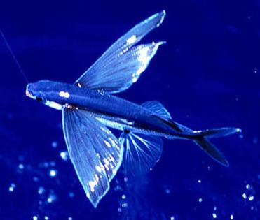 20080126214001-flyingfish.jpg