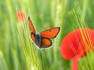 20090513231630-amapola-y-mariposa.jpg