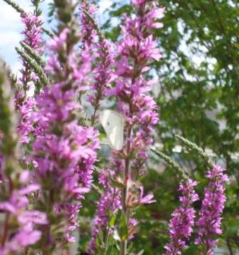 20100810010031-mariposa-timida.jpg