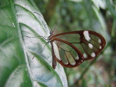 20120219201956-mariposa-glasswing-02.jpg